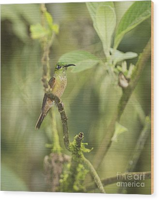 Wood Print featuring the photograph Fawn-breasted Brilliant Hummingbird by Dan Suzio