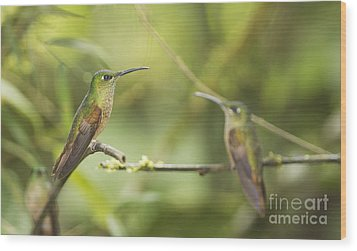 Fawn-breasted Brilliant Hummingbirds Wood Print