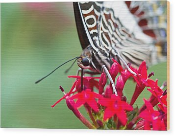 Wood Print featuring the photograph Feeding Butterfly by John Hoey