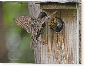 Feeding Starlings Wood Print by Torbjorn Swenelius