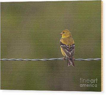 Female American Goldfinch Wood Print by Douglas Stucky