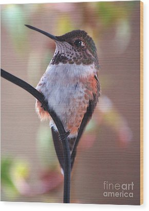 Female Anna Hummer Wood Print by Chuck Flewelling