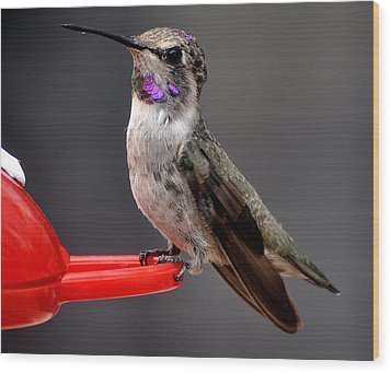 Wood Print featuring the photograph Female Anna's Hummingbird On Perch Posing For Her Supper by Jay Milo