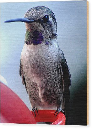 Wood Print featuring the photograph Female Anna With Purple Blue Throat by Jay Milo
