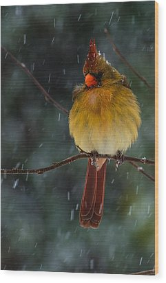 Female Cardinal In A Storm  Wood Print by John Harding