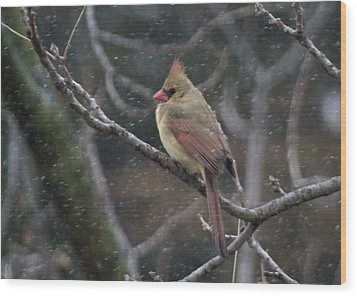 Female Cardinal In Snow 01 Wood Print by Shelly Gunderson