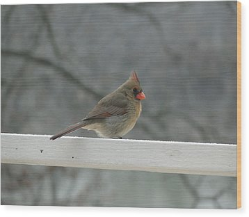 Female Cardinal Posing Wood Print by Cindy Croal