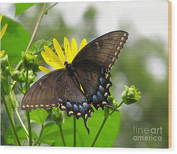 Wood Print featuring the photograph Female Dark Form Swallowtail Butterfly  by Eva Kaufman