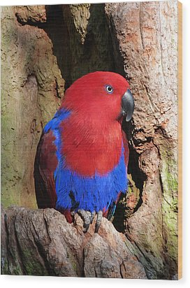 Female Eclectus Parrot Resting Wood Print by Margaret Saheed