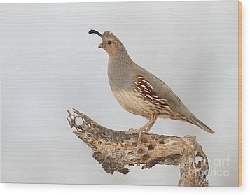 Female Gambel's Quail Wood Print by Bryan Keil