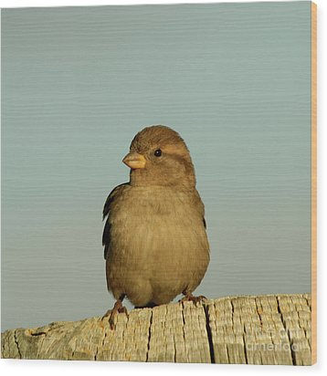 Female House Sparrow Wood Print by Bob and Jan Shriner