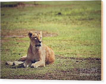 Female Lion Lying. Ngorongoro In Tanzania Wood Print by Michal Bednarek