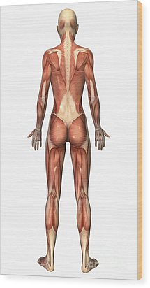 Female Muscular System, Back View Wood Print by Stocktrek Images