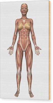 Female Muscular System, Front View Wood Print by Stocktrek Images