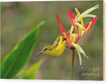 Female Olive Backed Sunbird Clings To Heliconia Plant Flower Singapore Wood Print by Imran Ahmed