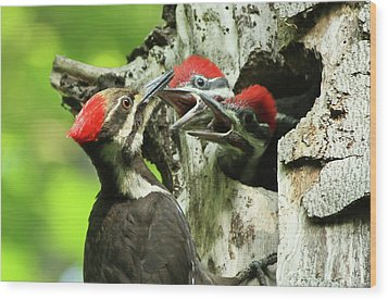 Female Pileated Woodpecker At Nest Wood Print by Mircea Costina Photography