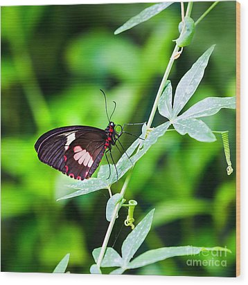 Female Pink Cattleheart Butterfly Wood Print by Jane Rix