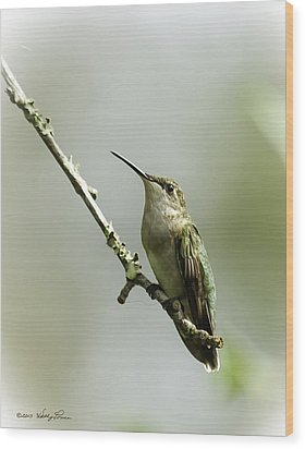 Female Ruby-throated Hummingbird 1 Wood Print by Kathy Ponce