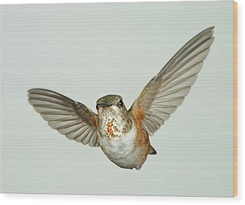 Female Rufous Hummingbird With Sequins Wood Print by Gregory Scott