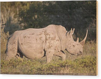 Female White Rhinoceros Wood Print by Science Photo Library