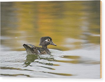 Female Wood Duck Wood Print by Tom Spencer