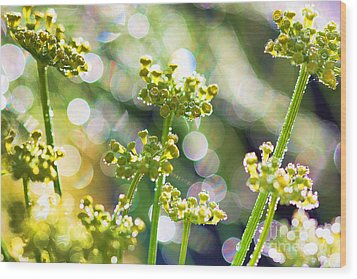 Fennel Morning Dew Wood Print