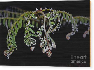 Fern Opening Up Wood Print by Jim Fitzpatrick