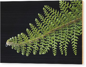 Wood Print featuring the photograph Fern With Raindrop 2 by Trevor Chriss
