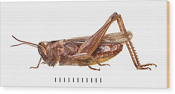 Field Grasshopper Wood Print