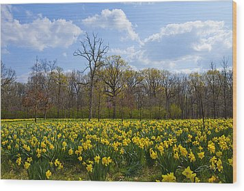 Field Of Daffodils At The Morton Arboretum Wood Print