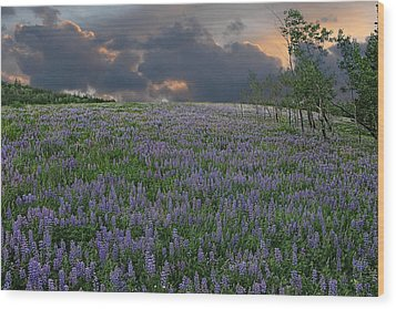 Field Of Lupine Wood Print