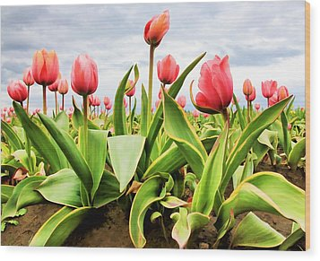 Wood Print featuring the photograph Field Of Pink Tulips by Athena Mckinzie