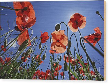 Field Of Poppies At Spring Wood Print by Sami Sarkis