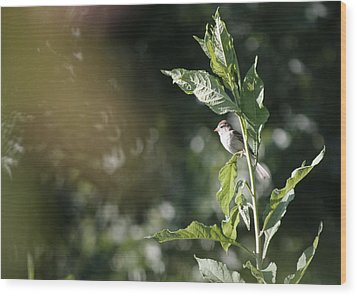 Field Sparrow Wood Print by Melinda Fawver