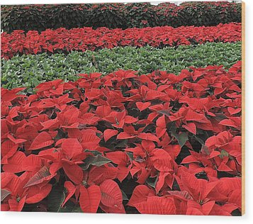 Fields Of Poinsettias Wood Print by Peggy Stokes