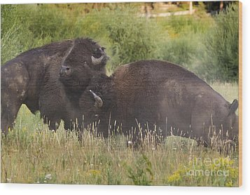Fighting Bison Wood Print by Mike Cavaroc