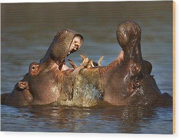 Fighting Hippo's Wood Print by Johan Swanepoel