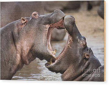 Fighting Hippos Wood Print