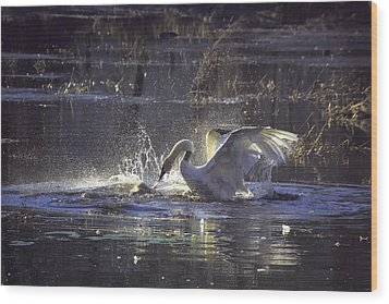 Fighting Swans Boxley Mill Pond Wood Print by Michael Dougherty