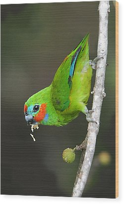 Figparrot Eating Figs Wood Print