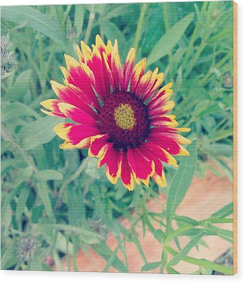 Fire Daisy Wood Print