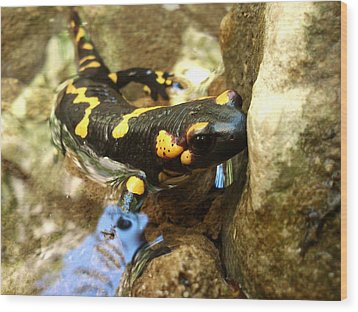 Fire Salamander  Wood Print by Lucy D