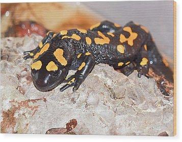 Fire Salamander (salamandra Salamandra) Wood Print by Photostock-israel
