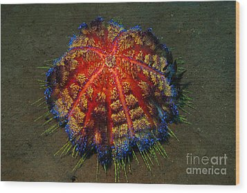 Wood Print featuring the photograph Fire Sea Urchin by Sergey Lukashin
