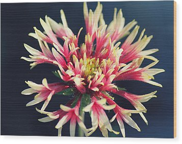 Firework Blooms Wood Print by Melanie Lankford Photography