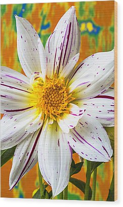 Fireworks Dahlia White And Pink Wood Print by Garry Gay