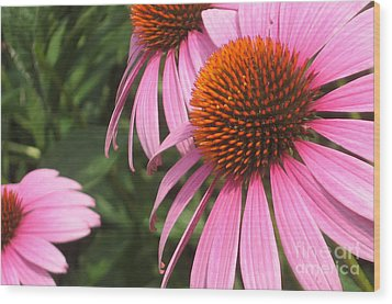 First Cone Flower Wood Print by Cheryl Hardt Art