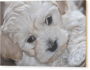 First Puppy Portrait Wood Print by Lisa  DiFruscio