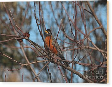 First Robin Of 2013 Wood Print by Marjorie Imbeau