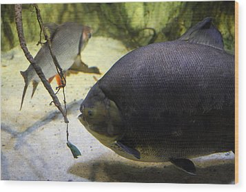 Fish - National Aquarium In Baltimore Md - 1212125 Wood Print by DC Photographer